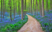 Bluebells in Halles Forest Belgium by Raimund Linke