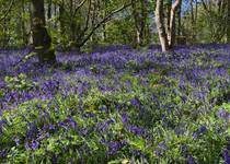 Bluebells in Staffordshire UK