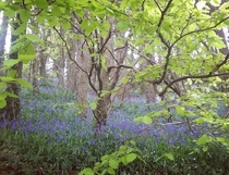 Bluebells Rineen Ireland April  x