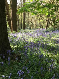 Bluebells South Staffordshire England OC  x