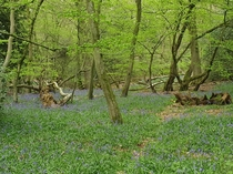 Bluebells surrounded by green in Leith Hill Surrey Hills United Kingdom