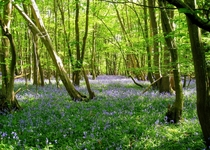 Bluebells taken yesterday South East England