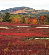 Blueberry fields in the fall in Maine