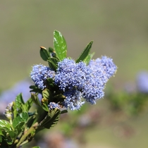 Blueblossom Ceanothus thyrsiflorus Point Reyes National Seashore California
