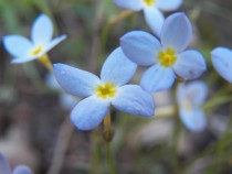 Bluets genus Houstonia