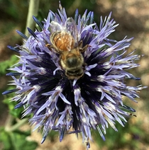Blurry bee on Blue Glow Globe Thistle - Echinops bannaticus