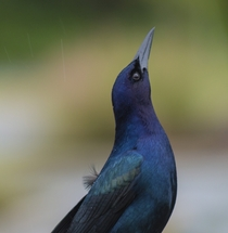 Boat-tailed GrackleQuiscalus major