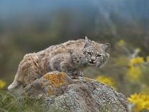 Bobcat and its Bobkitten