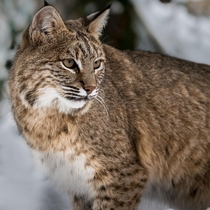 Bobcat in Northern Maine