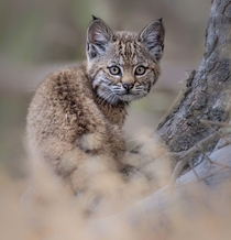Bobcat kitten Photo credit to Vishal Subramanyan