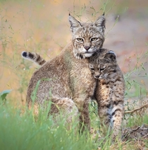 Bobcat mother and kitten Photo credit to Vishal Subramanyan