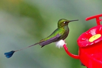Booted Racket-Tail Hummingbird