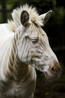 Born on the island of Molokai Hawaii Zoe is the only known captive white golden Zebra in existence