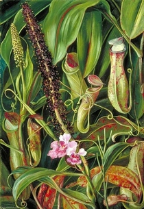 Bornean pitcher plant in bloom by Marianne North