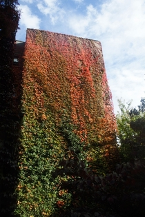 Boston Ivy Parthenocissus tricuspidata
