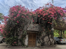 Bougainvillea at River Antoine Rum Distillery in Grenada Its the national flower