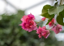Bougainvillea from October  in a botanical garden