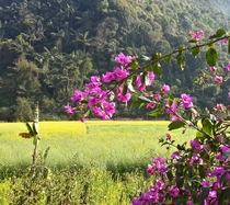 Bougainvillea palm trees and rapeseed fields Cangyuan China