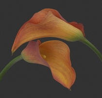 Bought these purely to photograph Very nice Calla Lilies