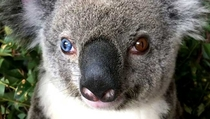 Bowie the koala has one bright blue eye and one brown an extremely rare condition is known as heterochromia