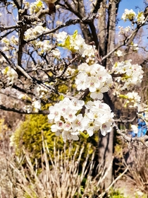 Bradford pear the only thing they are good for