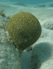 Brain Coral at Prickly Pear Cays in Anguilla