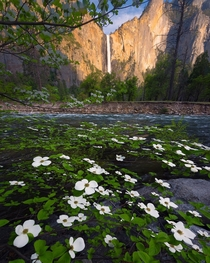 Bridal Veil Falls and some white flowers Yosemite National Park CA