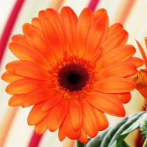 Bright Orange Gerbera Daisy