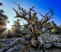 Bristlecone Pine in Great Basin National Park