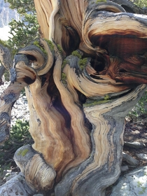 Bristlecone Pine Oldest Tree Species in the World