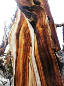 Bristlecone Pine - tree trunk of beautiful color variations these trees are the oldest in the world at about  years