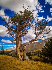 Bristlecone Pines can live for thousands of years and are among the oldest trees on earth Mt Evans Wilderness CO
