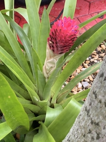 Bromeliad Quesnelia testudo with it bright pink tortoise head striking against its green leaves