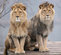 Brothers - Lions Panthera leo