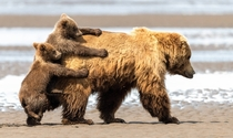 Brown bear cubs trying to catch a ride on their mothers back