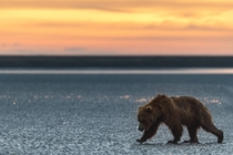 Brown bear looking for clams at dawn