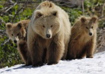 Brown bear mother and her cubs