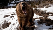 Brown bear roaring