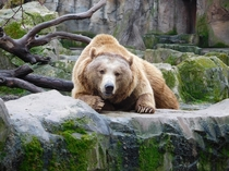 Brown bear stares directly at photographer - Zoo Aquarium de Madrid Spain