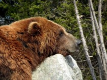 Brown Bear Ursus arctos resting on a rock