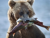 Brown bear with a nice salmon catch