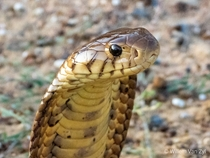 Brown Forest Cobra Naja subfulva from KwaZulu-Natal South Africa Dangerously venomous