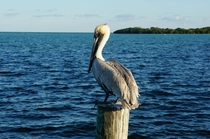 Brown pelican Pelecanus occidentalis in Key Largo FL
