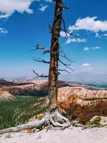 Bryce Canyon Utah - Lone tree barely holding on