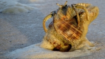 Bubbly Thinstripe Hermit Crab on the Mississippi coast
