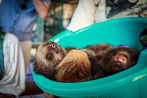 Bucket of Baby Sloths Toucan Rescue Ranch Costa Rica
