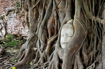 Buddha image engulfed by nature amongst the remains of what was once one of the largest cities in the world Ayutthaya Thailand More pictures of the city in the comments