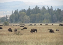 Buffalo grazing Grand Tetons National Park WY USA OC