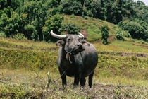 Buffalo posing for a portrait in Thailand