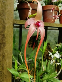 Bulbophyllum Echinolabium The powerful fragrance was at once repulsive and strangely alluring